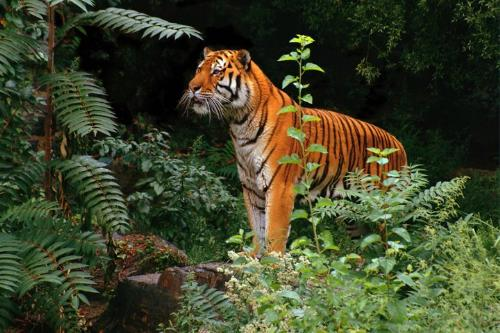 tiger - bengal tiger in forest