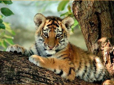 tiger - cub on tree