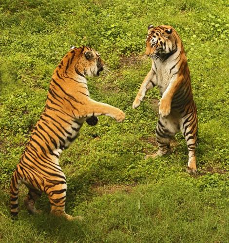 tiger - tigers play in the forest