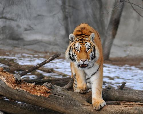 tiger - ready to attack,