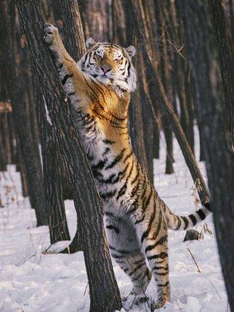 tiger - standing tiger