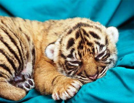 tiger - tiger cub preservation