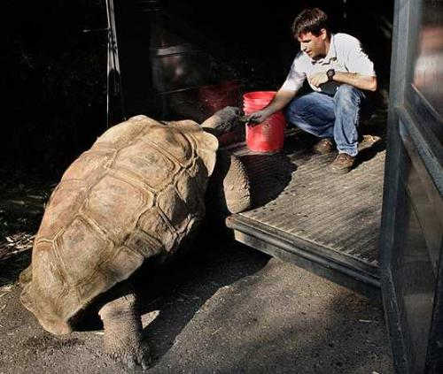 Tortoise - A Giant Tortoise being bribed in a trailer to be examed by a vet. These animals can live over a hundred years! Unreal!