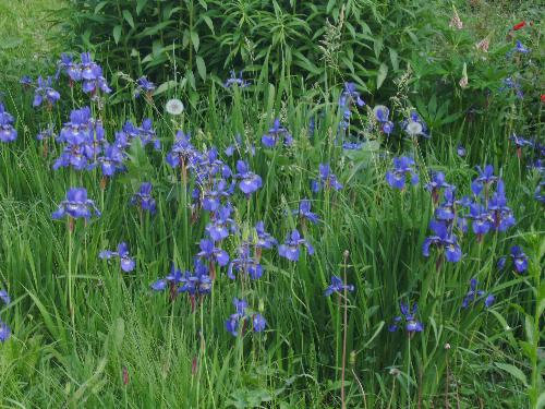 Small iris in may - Here are some of the may iris flowers to enjoy from Bucharest's park Herastrau.