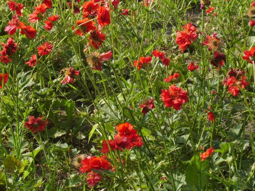 Red flowers in the sun - Here are some of the red may flowers to enjoy from Bucharest's park Herastrau.