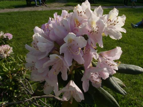 Big pinkish flowers - Here are some more flowers - not flavoured but lovely to watch and admire.