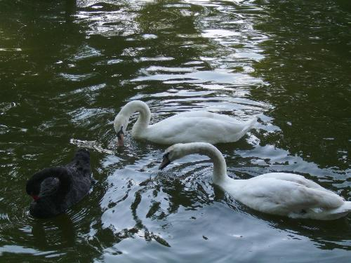 2 white and 1 black swans - Here are 3 swans, 2 white and 1 black enjoying the water in Herastrau park.