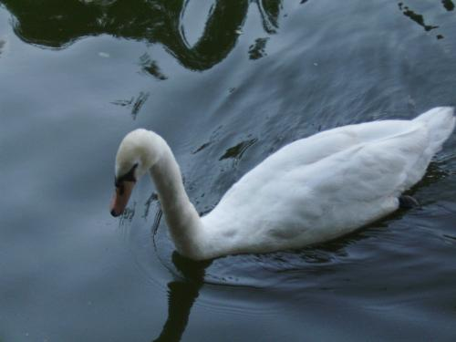 Close up with a white swan - Here is a close up with a white swan in Herastrau park, Bucharest.