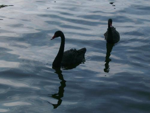 Close up with 2 black ones - Here is a close up with 2 black swans in Herastrau park, Bucharest.