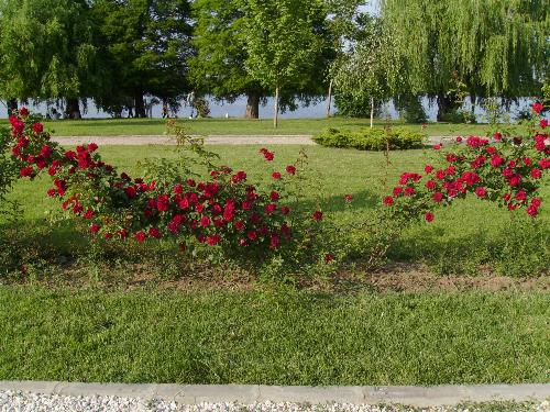 Red Roses Fence - There are red roses 'fences' in Herastrau park, Bucharest that are totally awesome in months of may, june and july.