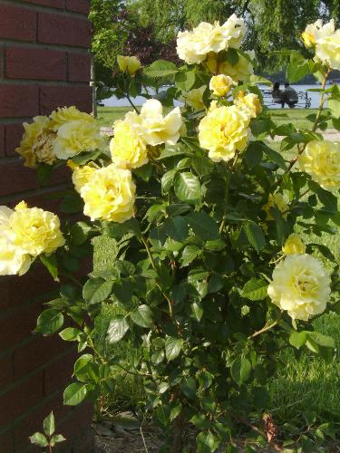 Yellow roses bush - Here is a bush of yellow roses in Herastrau park.