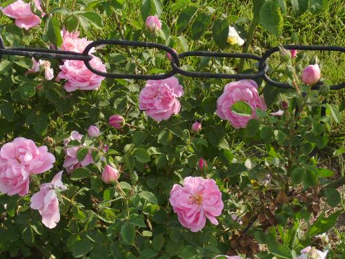 Pink roses on a fence - here are a few pink roses on an iron fence in Herastrau Park.