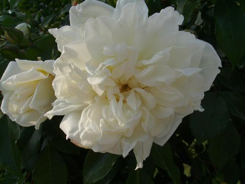 2 white roses - Here are 2 white roses up close in Herastrau Park, Bucharest.