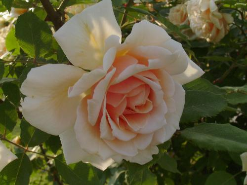 Just a rose - This is a combination between white, yellow and red rose generations.