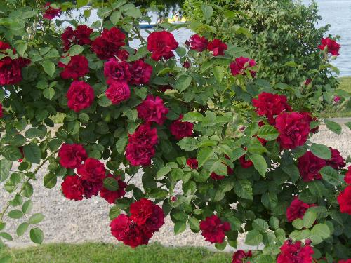 Bush of red roses - Here are red roses on the iron fence growing in a bush in Herastrau park.