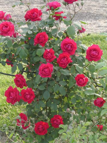 Red rose bouquet - They are actually placed on an iron fence, but it looks like a real natural bouquet.