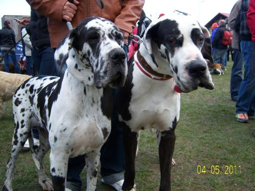 Great Dane - A beautiful, elegant dog.
