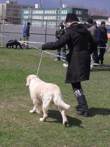 Golden Retriever - Being judged in the show ring at CAC Brasov 2011