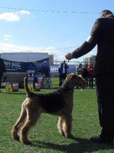 Airedale - Being judged in the show ring at CAC Brasov 2011