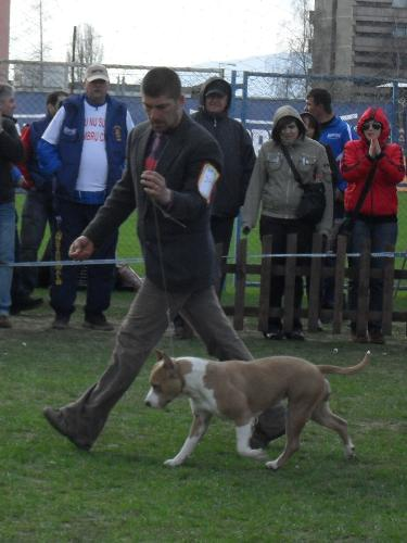 Amstaff - Being judged in the show ring at CAC Brasov 2011