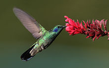 Hummingbird - A hummingbird and a flower.