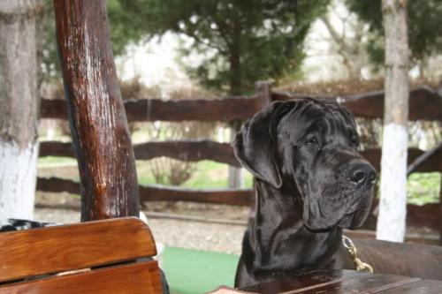 Great Dane - One of the most elegant and beautiful dog