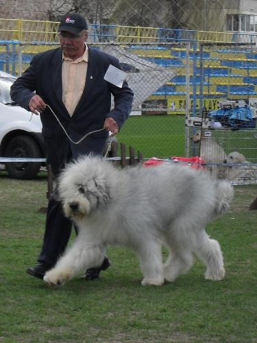 Romanian Shepherd Mioritic - Being judged in the show ring at CAC Brasov 2011