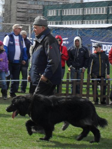 Romanian Shepherd Corb - Being judged in the show ring at CAC Brasov 2011