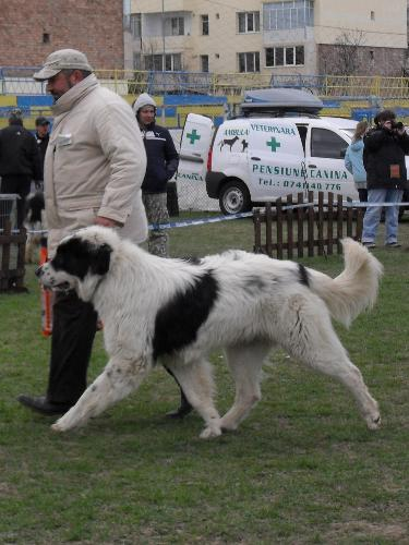 Romanian Shepherd - de Bucovina - Being judged in the show ring at CAC Brasov 2011