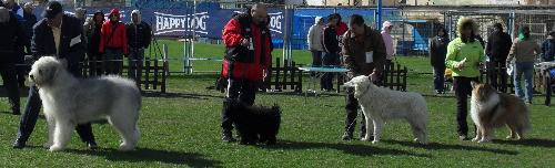 First group judging - Dogs being judged in the show ring at CAC Brasov 2011