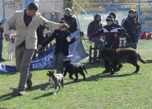 Best Puppy judging - Best puppies being judged in the show ring at CAC Brasov 2011