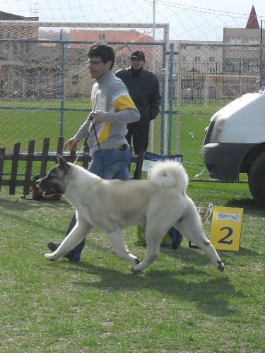 American Akita - Being judged in the show ring at CAC Brasov 2011