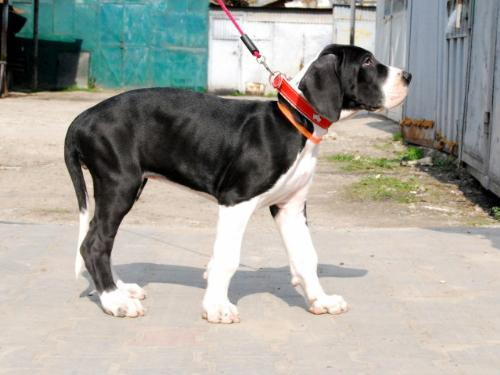 Great Dane - One of the most elegant dog