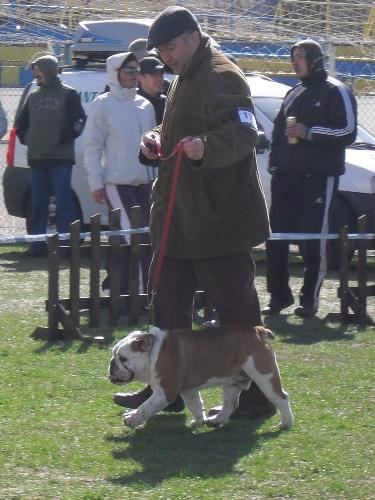 English Bulldog - Being judged in the show ring at CAC Brasov 2011