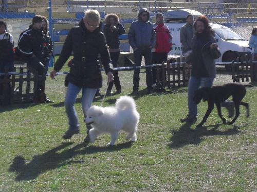 Best Puppy judging - at CAC Brasov 2011