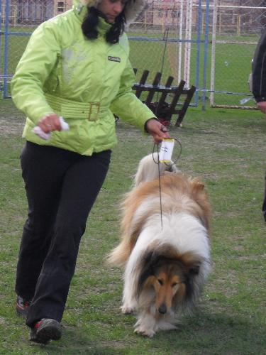 Collie - Being judged in the show ring at CAC Brasov 2011