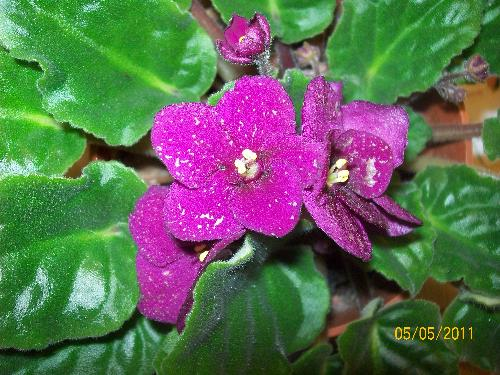 african violets - One of my favorite house plants