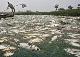 fish kill on Chinese fish farm - chemical contamination kills fish