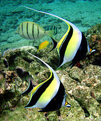 Angel fish - A species of Angel Fish. They made good tank fish.