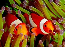 Clown Fish - In the movie 'Finding Nemo' Nemo and his dad where clown fish!