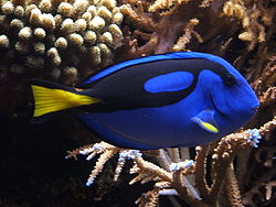 Dori - That is not Dori from 'Finding Nemo' but she was this species of fish!