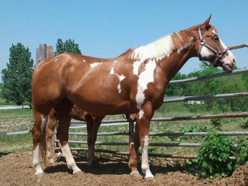 Vinnie's mom - Vinnie's mom is a Paint named Bella. His sire was a bay QH.
