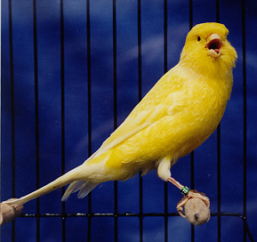Picture of a canary - A canary with bright yellow color.