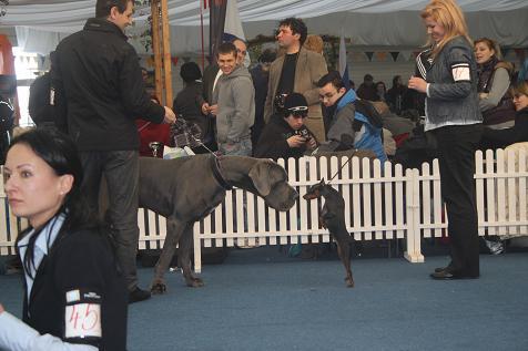 Great Dane - an elegant dog
