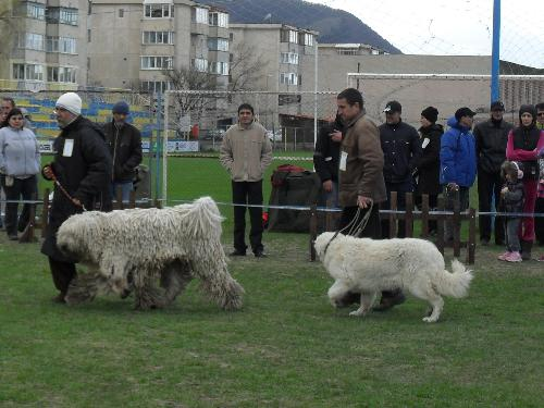 Romanian shepherds - Being judged in the show ring at CAC Brasov 2011