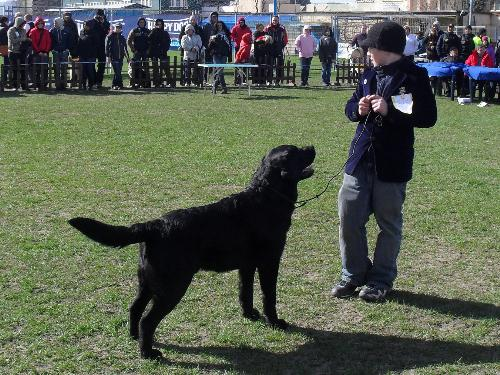 Labrador - being judged in the show ring at CAC Brasov 2011