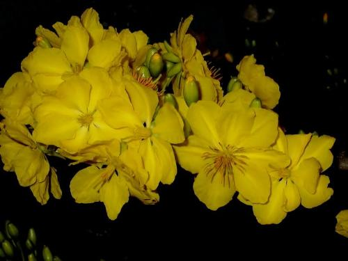 Hoa Mai Flower - These flower only grown in Vietnam. They bloom in Lunar Year holiday. They are beautiful.