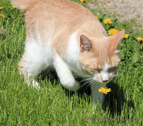 Time to smell the flowers! - This cat looks like it is smelling the dandelion! So cute!