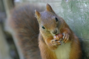 Squirrel with nut - Hungry squirrel