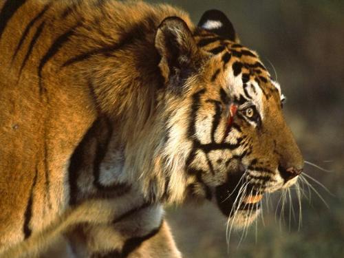bengal Tiger - A Bengal Tiger. So beautiful!